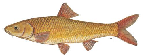 berg-breede whitefish (barbus andrewi)
