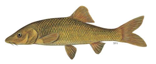clanwilliam sawfin (barbus serra)
