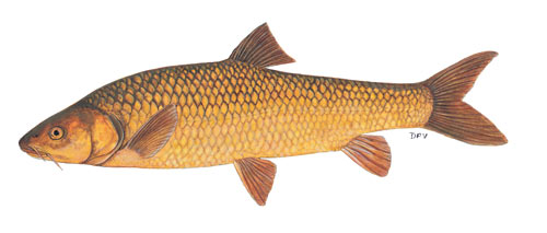 clanwilliam yellowfish (labeobarbus capensis)