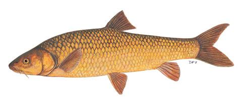 clanwilliam yellowfish (labeobarbus capensis)