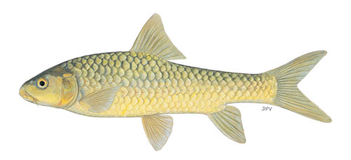 lowveld largescale yellowfish (Labeobarbus marequensis)