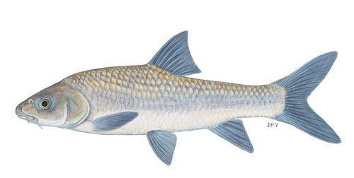 bushveld smallscale yellowfish (labeobarbus polylepsis)