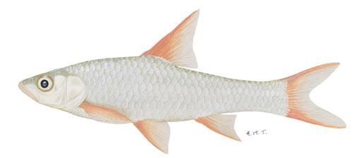 bushveld papermouth (Barbus rapax)