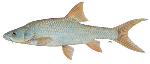 orange-vaal largemouth yellowfish (labeobarbus kimberleyensis)