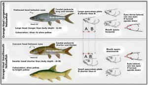 How to identify yellowfish?