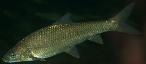 berg breede river whitefish