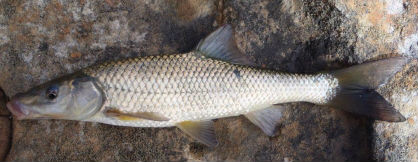 clanwilliam sawfin