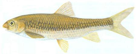 incomati chiselmouth yellowfish