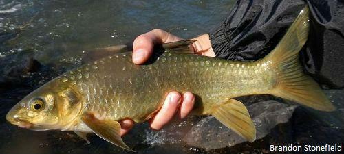kwazulu natal yellowfish