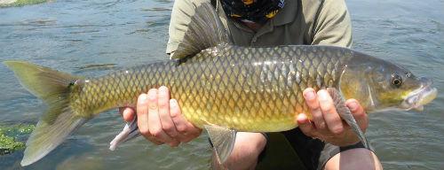smallmouth yellowfish