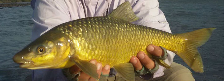 smallmouth yellowfish