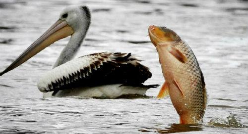 flopping carp